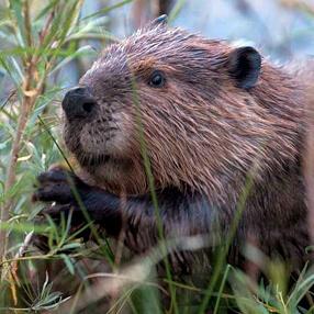 Trap Beaver Removal in Georgia