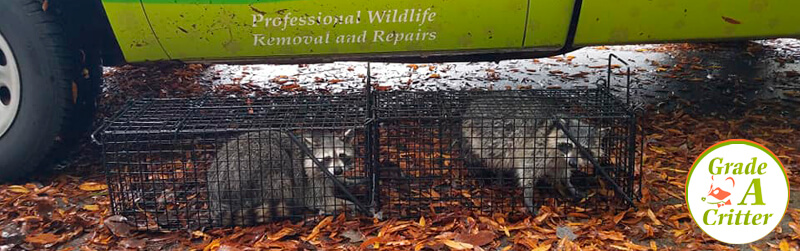 Nuisance Animal Control: We Start with Critter Trapping