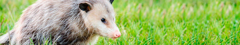 Opossums: Not Aggressive But Messy!
