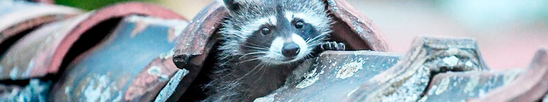 Raccoons: Highly Aggressive