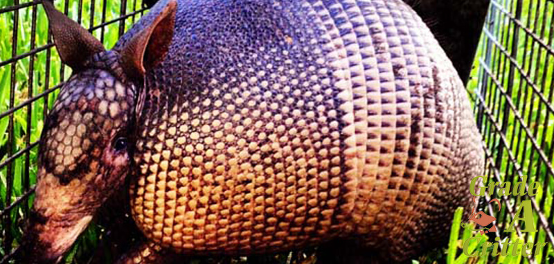 Armadillo removal & prevention services