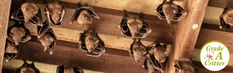 Wildlife Control: Bats Removal