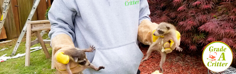 Wildlife Control Services: Racoon Removal