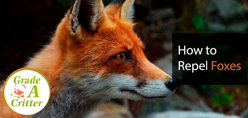 How to Repel Foxes