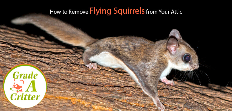 How to Remove Flying Squirrels from Your Attic