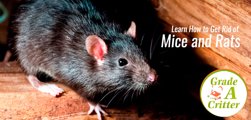 Learn How to Get Rid of Mice and Rats