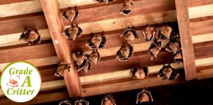 Bat Removal & Exclusion from Your Attic - Grade a Critter