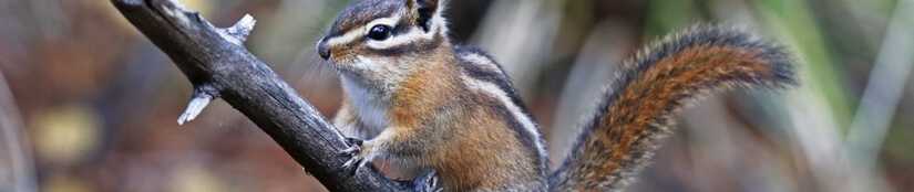 Apply a Dry Repellent - Chipmunks Removal