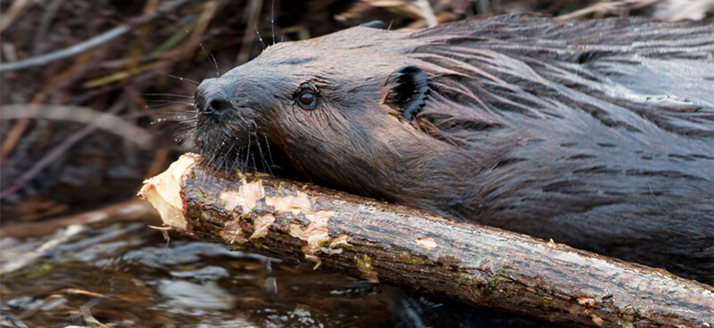 Use Beaver Traps to Get Rid of Them Humanely in Atlanta GA