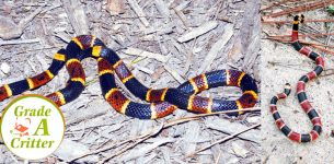 How to Tell If a Snake Is Venomous?