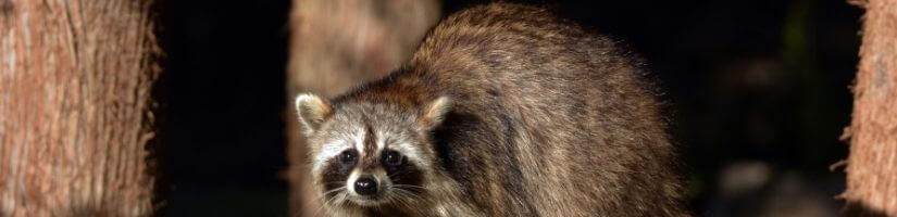 DIY spicy raccoon repeller - Raccoons Removal