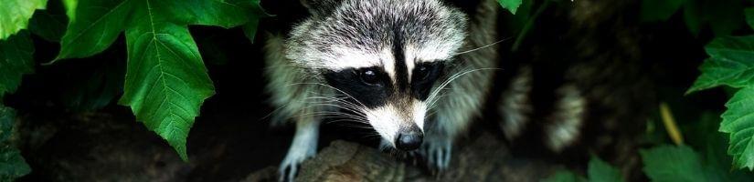 Ammonia - Raccoons removal