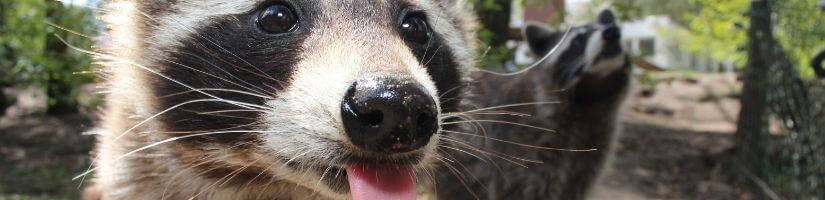Ultrasound animal repellent - Raccoons Removal