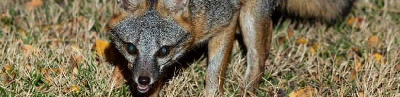 About the Foxes and Coyotes Found in Georgia