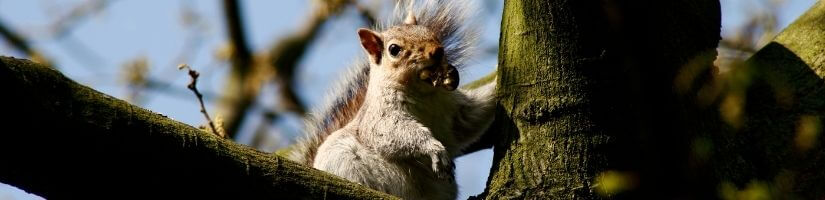 Contact Grade A Critter for Squirrel Removal in your area