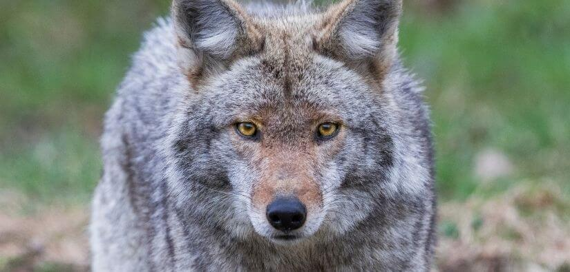 Coyote Removal, Trapping & Prevention Services