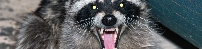 Raccoons Can Damage the Insulation