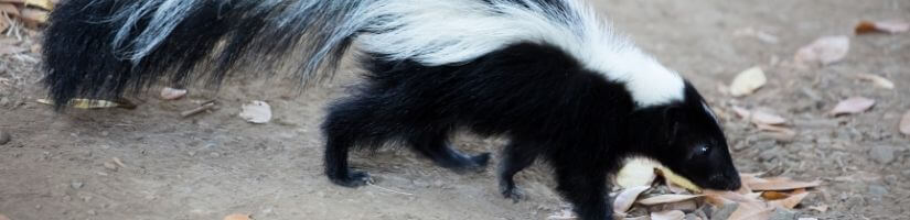 Info about types of skunks found in Georgia