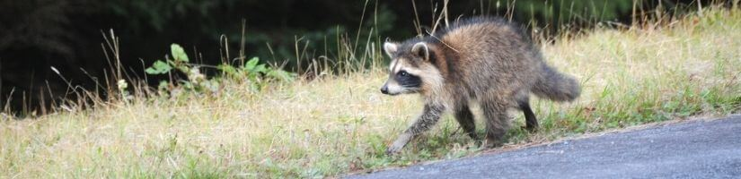 The Fastest Way to Get Rid of Raccoons Is by Calling Grade a Critter!