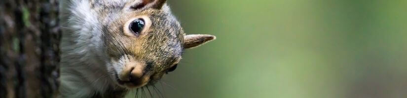 How Can You Tell if There are Squirrels in Your Home?