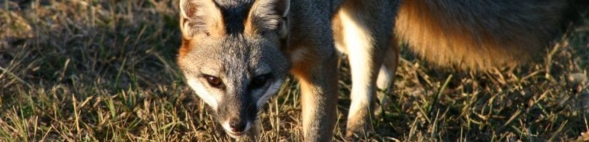 Fencing Your House Will Help You Keep Foxes off Your Patio