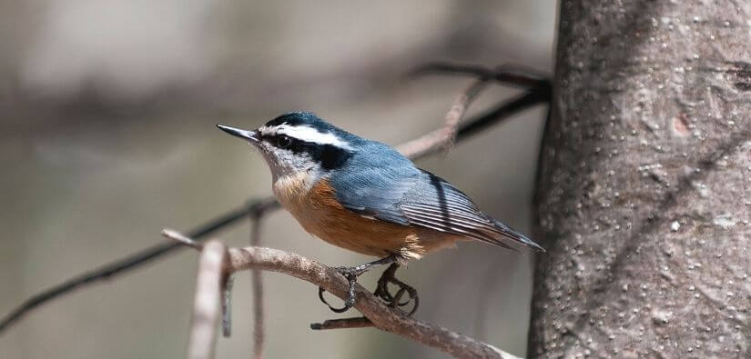 Nuthatch bird removal - Calling Our Experts!
