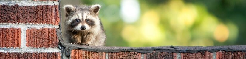 Trapping and Removal Service: Get Rid of Racoons