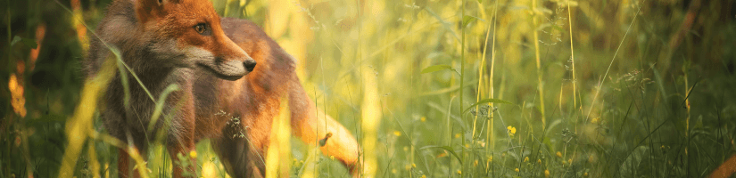 Use Repellents to Keep Foxes Away from Your House