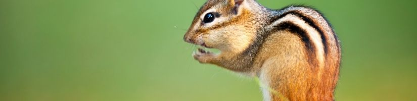 Follow Our Tips to Learn How to Get Rid of Chipmunks
