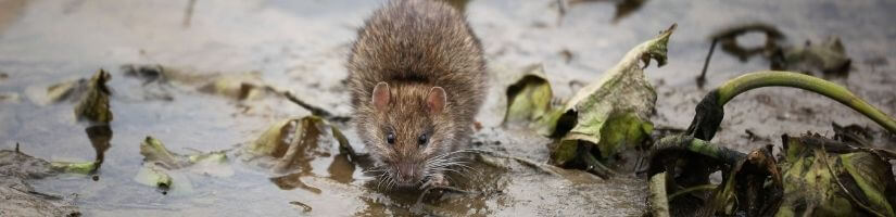 Use Peppermint to Keep Rats Away From Your Home