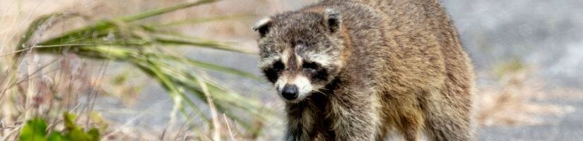 Raccoon Waste Is Infectious