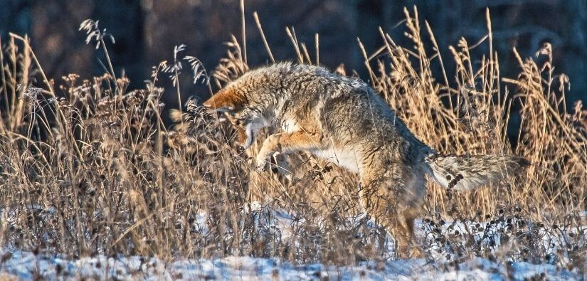 Myths About Coyotes