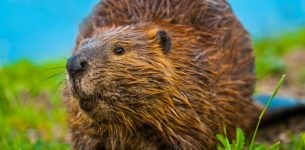 How To Get Rid of Beavers: Step by Step Guide