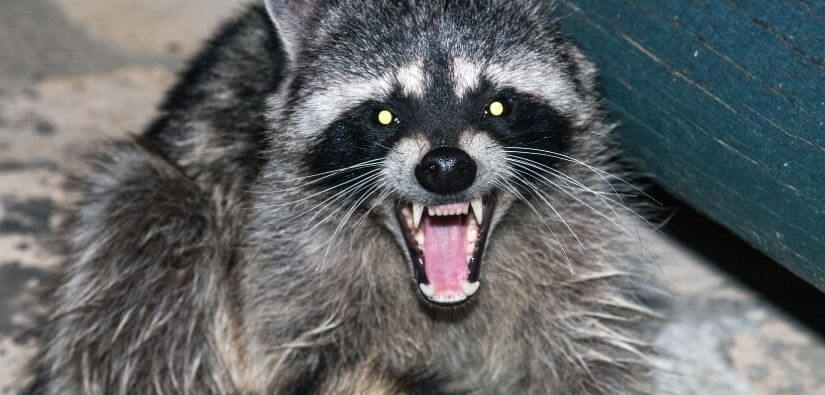 Expert pest control - raccoons