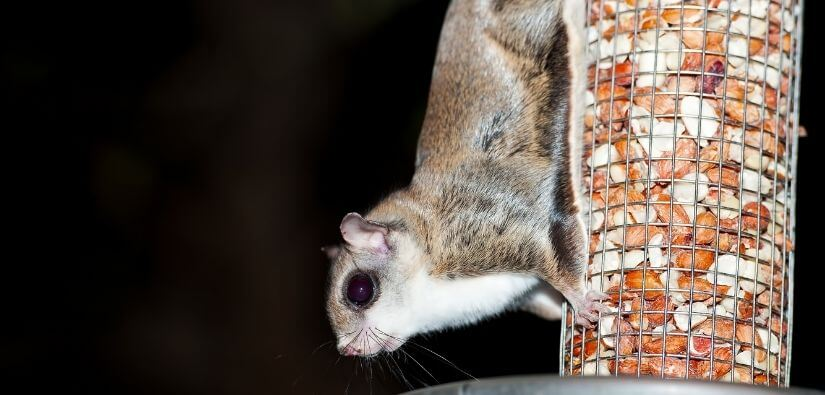 Flying squirrel removal & prevention services