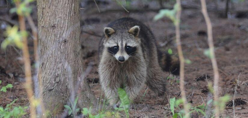Info about types of raccoons found in Georgia