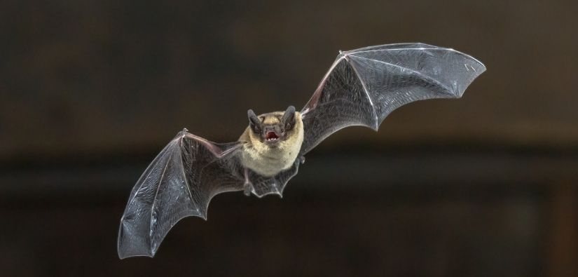 How to Remove Bats