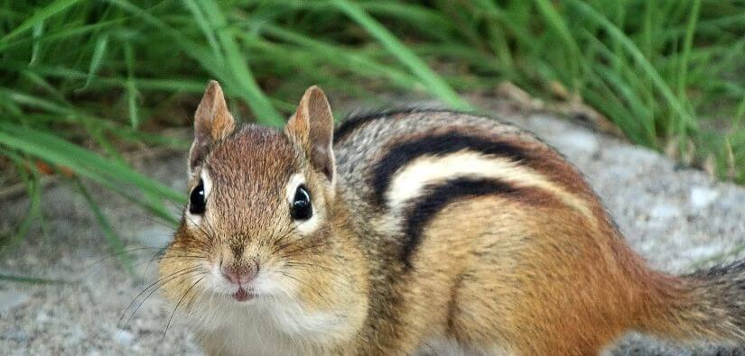 Chipmunk trapping & prevention services.