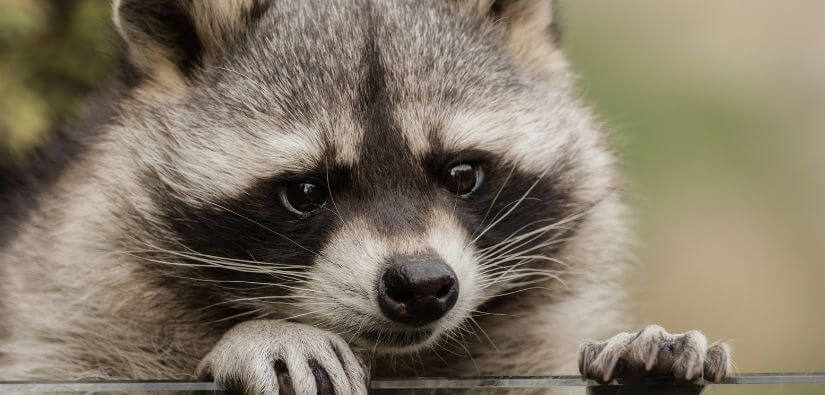 How to safely get rid of raccoons?