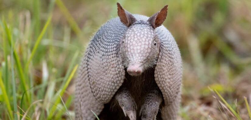 Management and Nuisance Control - Armadillo Removal