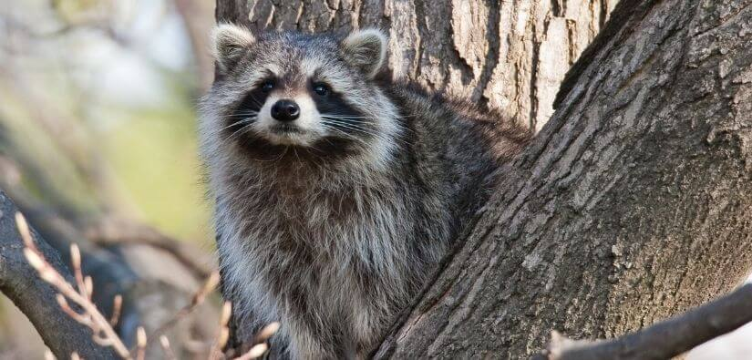 Reasons to Remove Raccoons Fast from Your Home