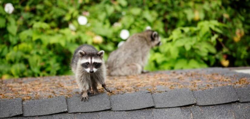 Wildlife Removal in Atlanta GA