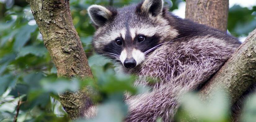 Wildlife Removal in Marietta GA: Get Rid of Racoons, Squirrels, Snakes and Much More!