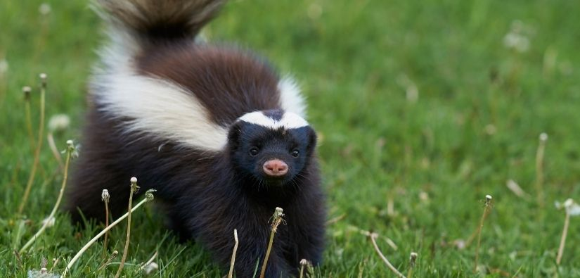 Skunk trapping & removal services