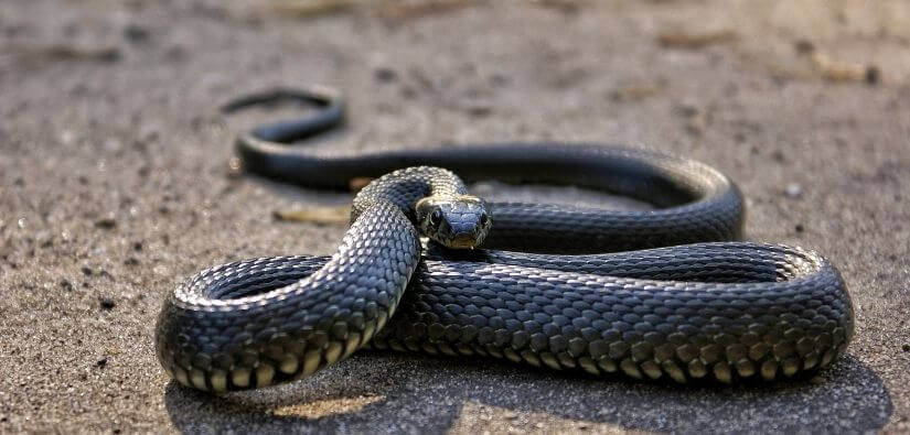 Why snake removal is better left to the professionals
