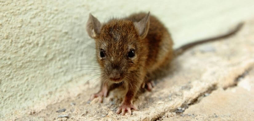 Rat & mouse trapping & prevention services.