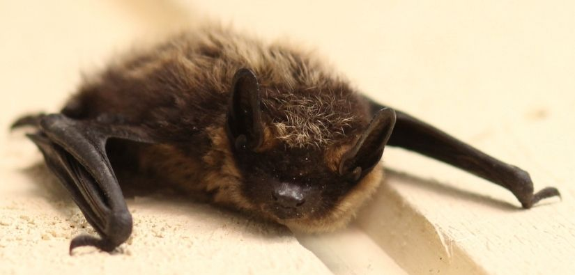 Other Methods to Scare Bats Out of Your Home - Bat Removal