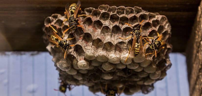 Wasp & Hornet hornet nest removal options