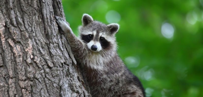 Wildlife Removal in Sandy Springs GA: 24/7 Emergency Service!