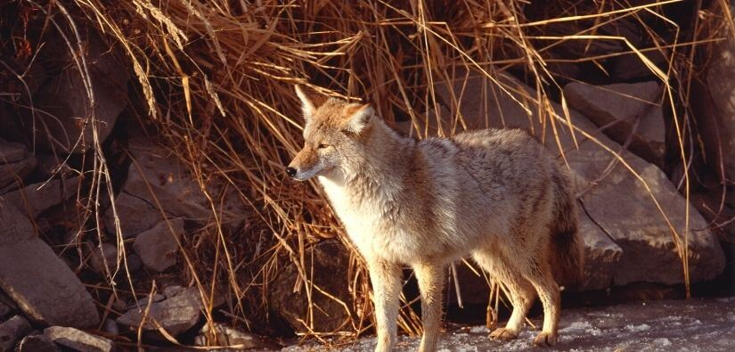 The Truth About Coyotes